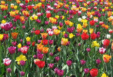 Tulips. The flowerbed with many tulips Stock Photography
