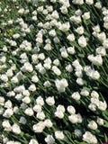Tulips Fotos de Stock Royalty Free