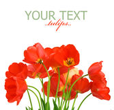 Tulips fotografia de stock