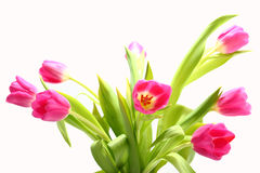 Tulips. A bunch of Tulips isolated on white background Stock Image
