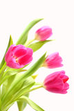 Tulips. A bunch of Tulips isolated on white background Royalty Free Stock Photography