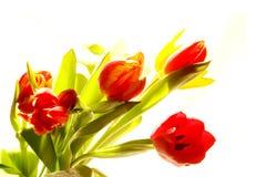 Tulips. On a white background stock photos
