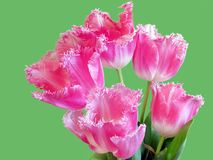 Tulips. Bouquet of tulips over green background Stock Photos
