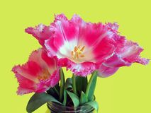 Tulips. Beautiful tulips over light green background Stock Image