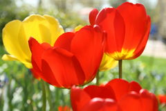 Tulips. Red colorful spring tulips in the garden Stock Photo