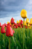 Tulips. Red and yellow tulips against the sky Stock Photography
