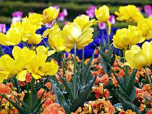 Tulips. Blooming tulips in spring, detail of a garden Royalty Free Stock Photos