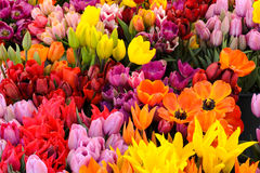 Free Tulips Stock Photography - 13570692