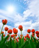 Tulips. Stock Image