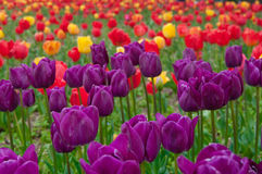 Tulips. Exhibition of the beautiful tulips Royalty Free Stock Photo