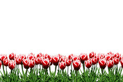 Tulips. A border of red and white tulips Royalty Free Stock Photos