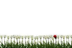 White Tulips. A border of white tulips with a single red one Royalty Free Stock Image