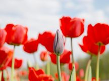 Tulips. Green tulip bud closeup on the red tulips background Royalty Free Stock Photo