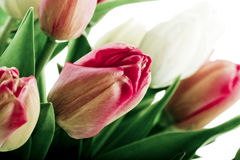 Tulips. Beautiful red and white tulips in vase Royalty Free Stock Photos