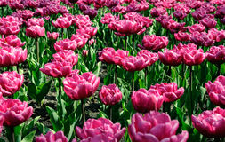 Tulips. A close-up of spring tulips Stock Photography
