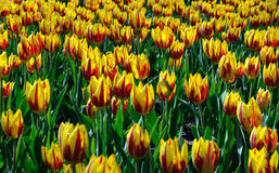 Tulips. A close-up of spring tulips Royalty Free Stock Photography