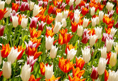 Tulips. Different color Keukenhof tulips photo. Shallow DOF Stock Photos