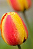 Tulips. Red and yellow tulips, close-up Royalty Free Stock Photo