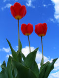 Tulips. On a background of the sky Royalty Free Stock Images