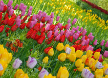 Tulips. In the Keukenhof park, Netherlands Stock Image
