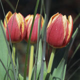 Tulips. Close-up view of three tulips royalty free stock photos