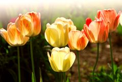 Free Tulips Stock Images - 1748664