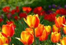 Tulips. Wilanow Palace, Warsaw / Poland royalty free stock photo
