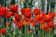 Tulips. Red Tulips Royalty Free Stock Photo