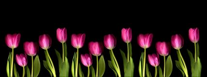 Tulips. Pink, orange and yellow tulips on black Royalty Free Stock Photography