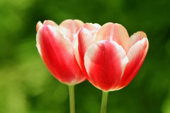 Tulips. A couple of red and white tulips in an outdoor setting Stock Images