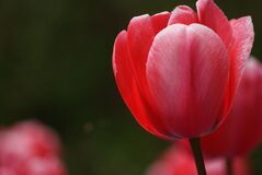 Tulips (18) Royalty Free Stock Photos