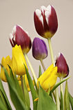 Tulips. A bunch of red, yellow, red and white tulips taken indoors using natural light stock photo