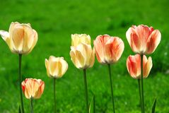 Free Tulips Stock Photos - 19202513