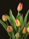 Tulips 2. Bunch of tulips over black background royalty free stock photo