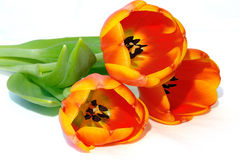 Tulips 2 Foto de Stock Royalty Free
