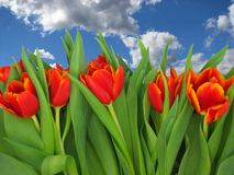 The tulips. Royalty Free Stock Images