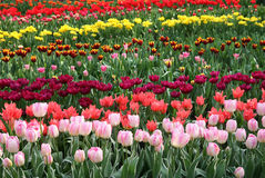 Tulips. Field of tulips of many different varieties and colors Stock Images