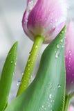 Tulips. Beautiful tulips close up shot Stock Photography