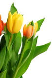 Tulips royalty free stock photo