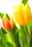 Tulips. Close up on fresh backlit tulips on white background Royalty Free Stock Image