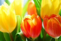 Tulips. Close up on fresh tulips bouquet in warm sunlight Stock Photography