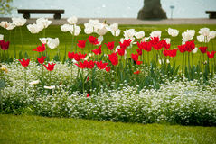 Tulips. Red and white tulips in a garden Royalty Free Stock Image