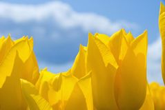 In the Tulips Royalty Free Stock Photography