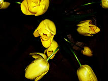 Tulips. Yellow tulips Royalty Free Stock Photos