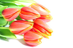 Tulips. A few fresh tulips are isolated stock photos
