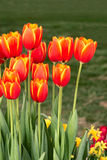 Tulips. A bunch of red-yellow tulips Stock Photos