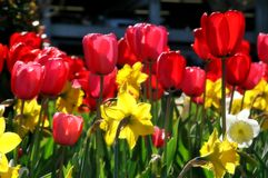 Tulips. Red and yellow tulips against the light Stock Photography