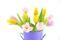 Tulips. Pink and yellow tulips in purple metal bucket on white background in horizontal format Stock Photo