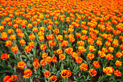 Tulips. Hundreds of orange tulips can be seen on a spring day Stock Image
