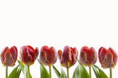 Tulips. With copy space on white background stock photo
